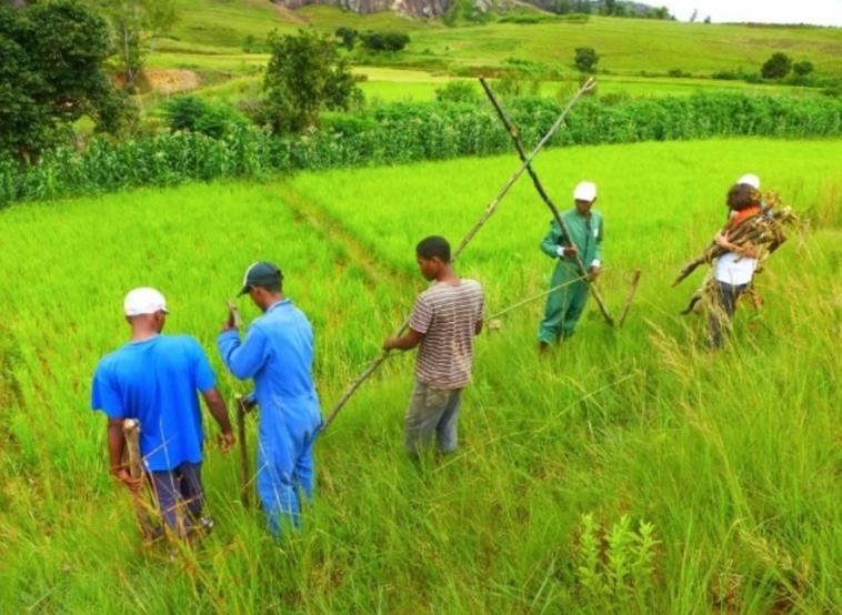 AINGAVAO : la filière du riz éthique
